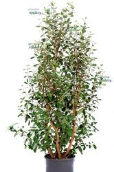 Akka sellowa duży krzew