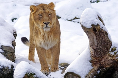 Fototapeta lwica spacerujaca po śniegu fp 2659