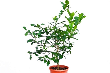 Lima kaffir duże drzewko
