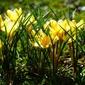 Fototapeta żółte krokusy w parku fp 590