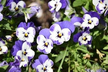 Fototapeta kwiat, bratki 379