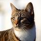 Fototapeta spoglądający kot fp 2403