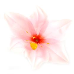 Lilia satynowa 11 cm - różowy jasny - różowy jasny