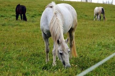 Fototapeta konie na polanie fp 2739