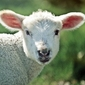 Fototapeta biała owca fp 2637