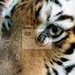Obraz piękne tiger