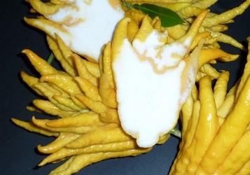 Ręka buddy variegata krzew