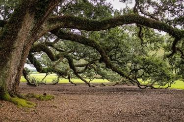 Fototapeta ogromne drzewo 732