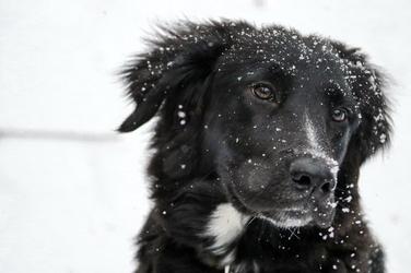 Fototapeta border collie głowa psa fp 2833