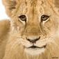 Obraz na płótnie canvas lwiątko 4 miesiące