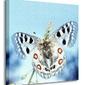 Motyl, apollofalter - obraz na płótnie