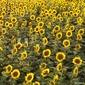 Obraz na płótnie canvas pole słonecznikowe.