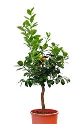 Kumkwat obovata duże drzewko
