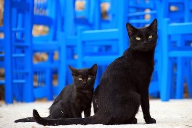 Fototapeta dwa czarne koty fp 2574