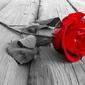 Róża na pomoście - fototapeta