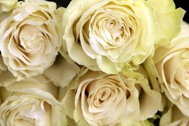 Fototapeta białe róże fp 716
