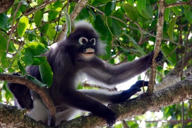 Fototapeta czarna małpka fp 2697