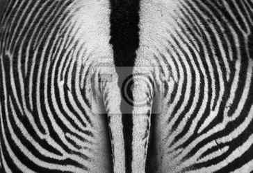 Fototapeta zebra tekstury