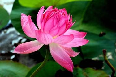 Fototapeta kwiat różowej lili wodnej fp 442