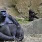 Fototapeta goryl z mamą na wybiegu fp 2812