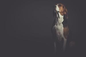 Fototapeta na ścianę pies na szarym tle fp 3102