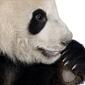 Tapeta ścienna gigantyczna panda 18 miesięcy - ailuropoda melanoleuca