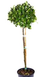 Laur, wawrzyn szlachetny duże drzewo