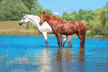 Fototapeta konie 1703