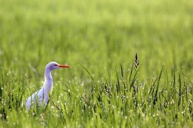 Fototapeta na ścianę biały ptak w wysokiej trawie fp 2588