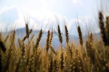 Fototapeta pszenica wyciągnięta w kierunku nieba fp 1739
