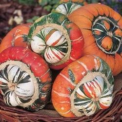 Dynia ozdobna turban – mix nasiona – kiepenkerl