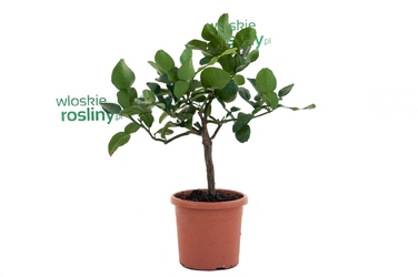 Lima kaffir małe drzewko