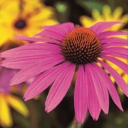 Jeżówka roter leuchtstern –purpurowa – kiepenkerl