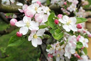 Fototapeta białe kwiaty jabłoni fp 282