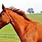 Fototapeta koń z profilu fp 2962