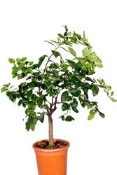 Limetta pursha duże drzewko