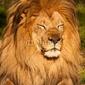 Naklejka samoprzylepna lew męski śpiący