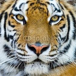Obraz na płótnie canvas dwuczęściowy dyptyk tygrys