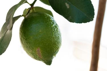 Cytryna zagara bianca duże drzewo