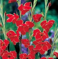 Gladiolus mieczyk atom – 7 szt.