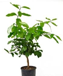 Cedro maxima drzewko