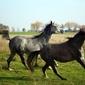 Fototapeta dwa galopujące konie fp 2956