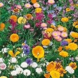 Dywan kwiatowy – mieszanka nasion – kiepenkerl