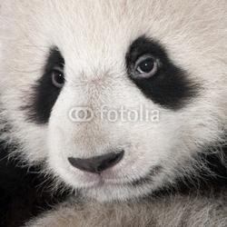 Plakat na papierze fotorealistycznym gigantyczna panda 18 miesięcy