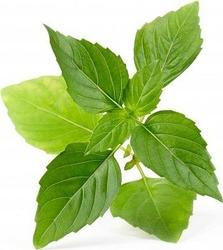 Wkład nasienny Lingot zioła nietypowe bazylia tajska