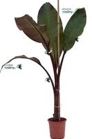 Bananowiec ensete maurelii drzewo