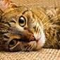 Fototapeta leżący kot fp 2758