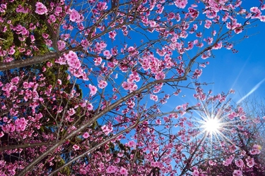 Fototapeta kwiat, kwiat wiśni 374