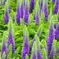 Przetacznik kłosowy  długo kwitnący nana blaue