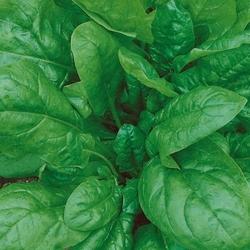 Szpinak palaco – uprawa ekologiczna – kiepenkerl